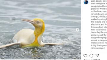 pinguin yellow