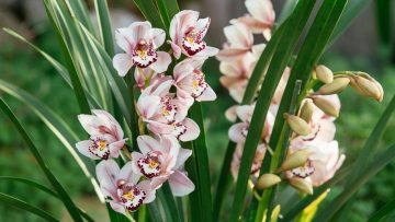 orchidea-samos